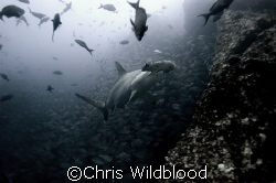 Scalloped hammerhead, Cocos, Christmas Eve 2007. by Chris Wildblood 